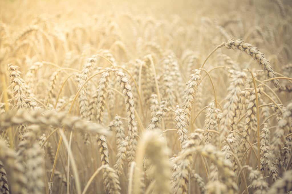 selective focus closeup photo of wheat field