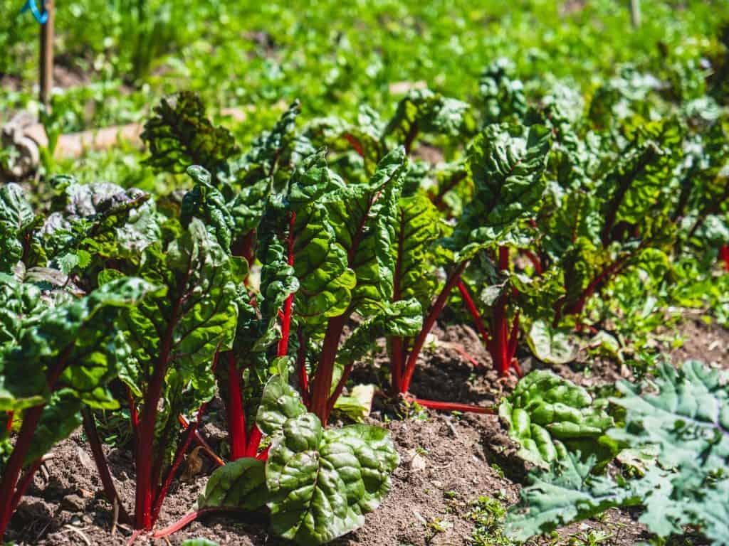 green lettuce plant